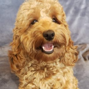 sweet F1 Bella Gema/Carson Precious Gems-all grown upEcockapoo